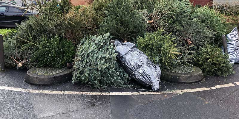 Live Christmas Trees Discarded on Curb for Trash Pickup.