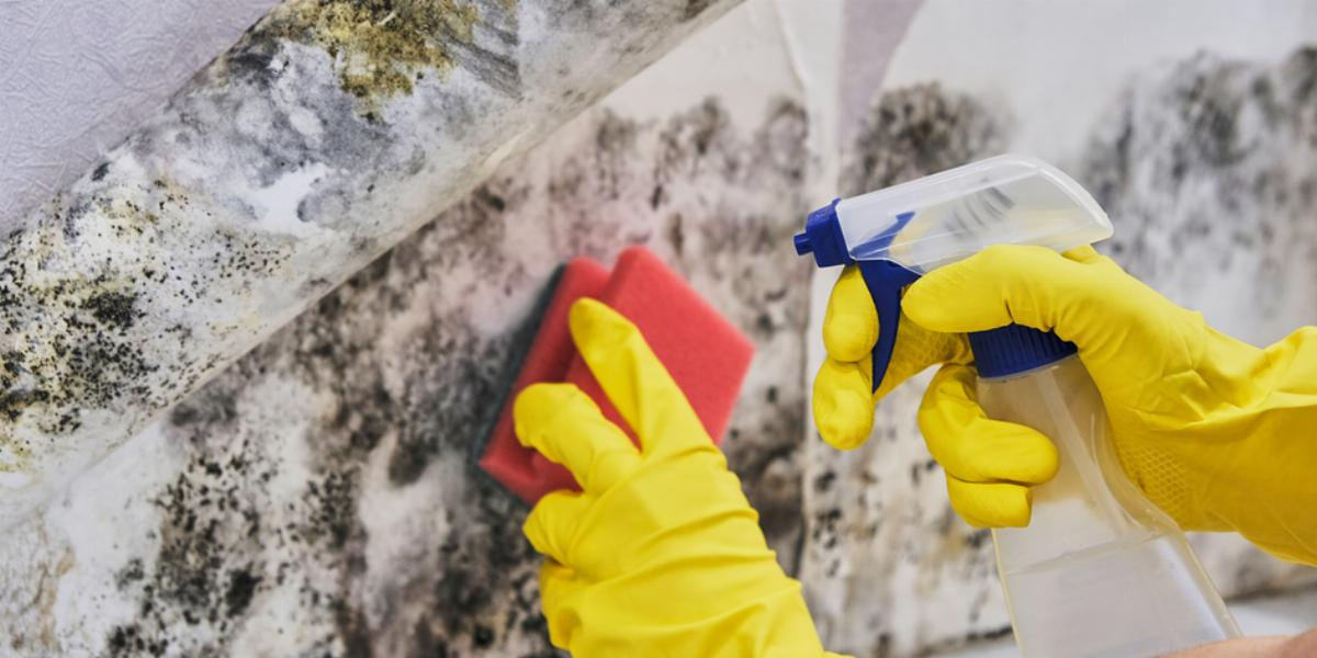 Cleaning up mold after a flood.